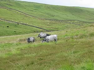 Blue Greys may be lost from upland areas
