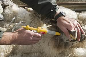 sheep parasite control launched by fort dodge animal health 11 02 09. Cars Review. Best American Auto & Cars Review
