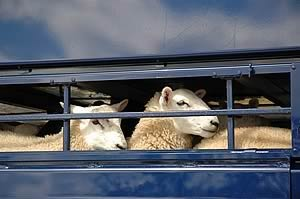 Hauliers Helping Out Struggling Scottish Sheep Farmers