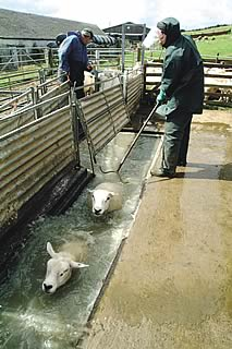 sheep dipping